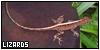 Lizards: